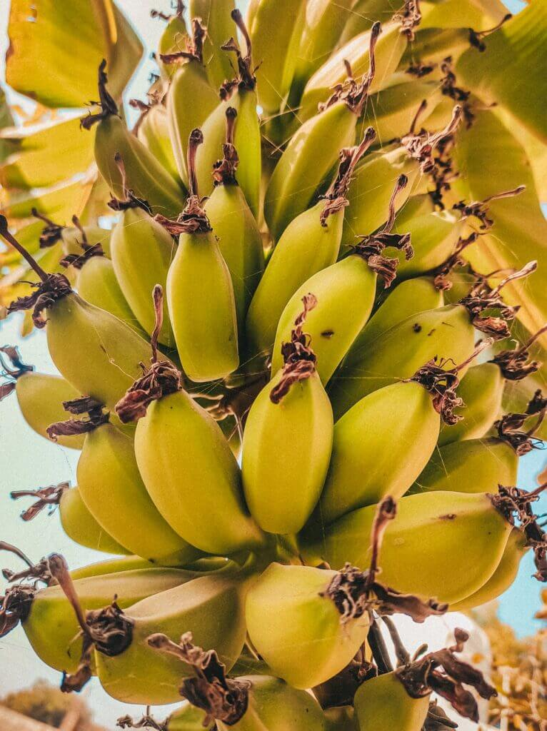 Bananas Fruits Bunch Branch  - Gajju78Maharaj / Pixabay Extremely Scary Facts to Know | Creepy Facts