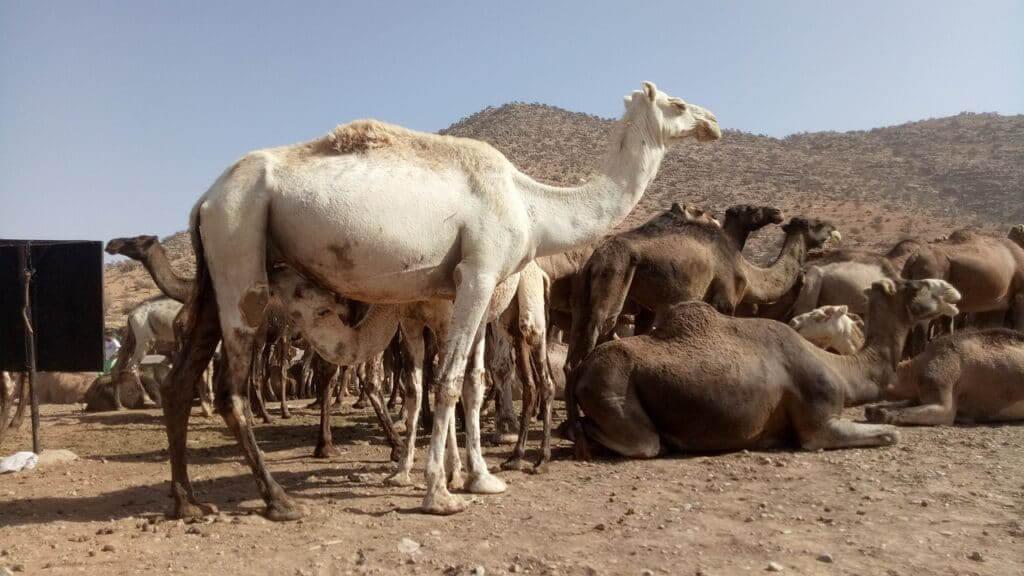 Camels Animals Desert Mammals  - Nmassi / Pixabay Biggest Culture Shock Experiences