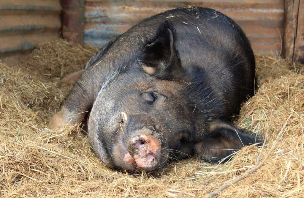 Pig Animal Pigsty Sty Hay Boar  - Beesmurf / Pixabay Extremely Scary Facts to Know | Creepy Facts
